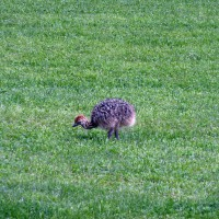 Lonely baby ostrich in a meadow