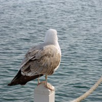 Photo of a Seagull – a view from behind